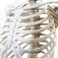 What the Ribcage Reveals